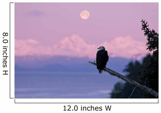 A Bald Eagle Perched On A Branch With The Moon Set At Sunrise Wall Mural