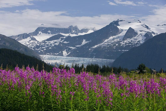Scenic View Of Mendenhall Glacier With Fireweed Wall Mural