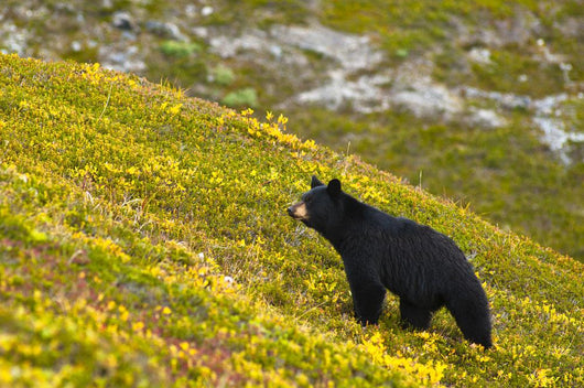 A Black Bear Foraging For Berries On A Hillside Wall Mural