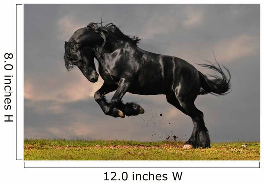 Black Friesian Stallion Gallop