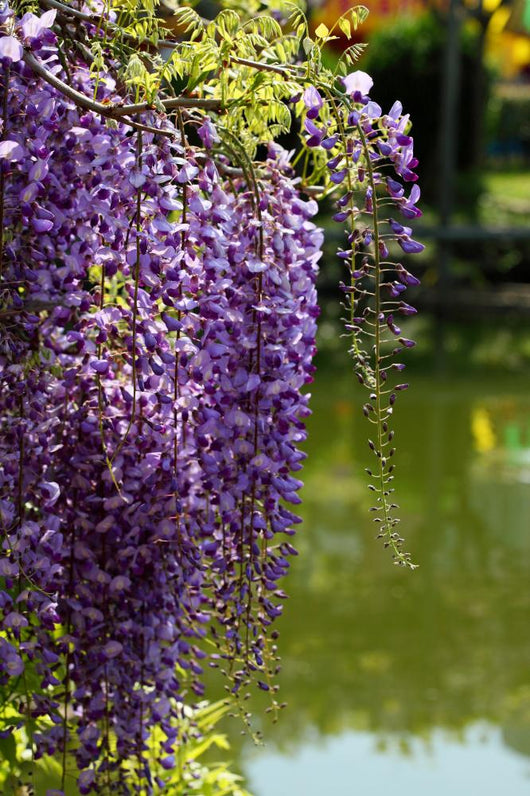 Close-up of Wisteria in Japanese Garden Wall Mural