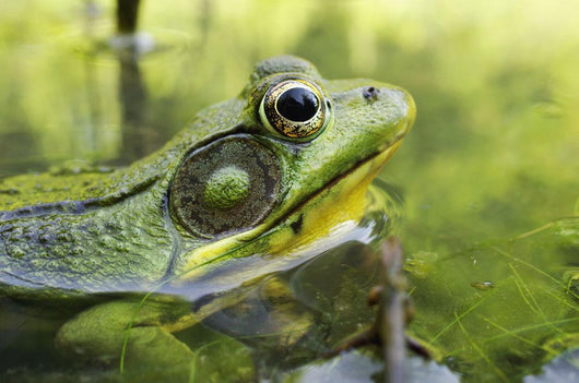 Green Frog Partly Submerged In Water Wall Mural