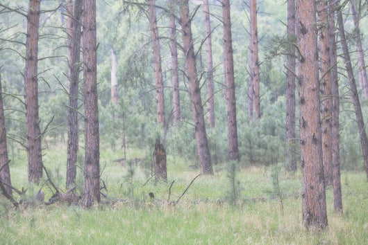 Trees in the fog along a highway in the black hills of south dakota Wall Mural