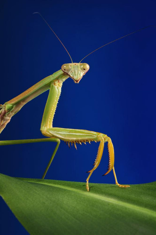 Praying mantis on a blue background;St albert alberta canada Wall Mural