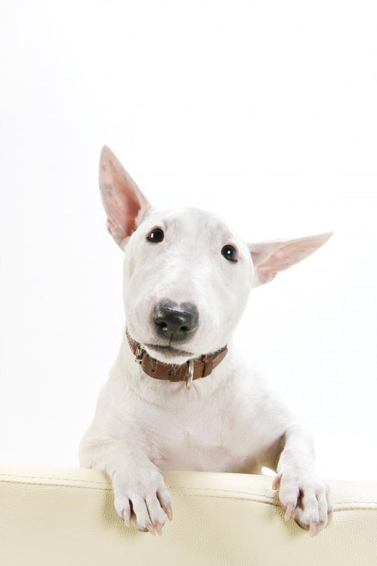 Miniature Bull Terrier Wall Decal