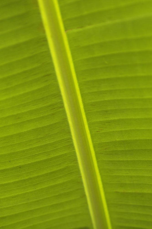 Detail Of Banana Leaf, Blue Mountains, Jamaica Wall Mural