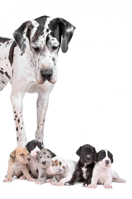 Great Dane Dog Wall Decal