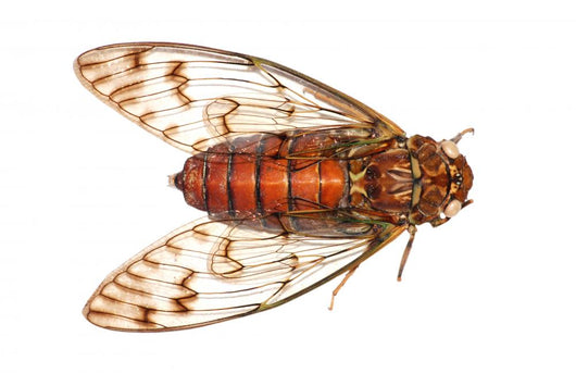 insect cicada Wall Decal