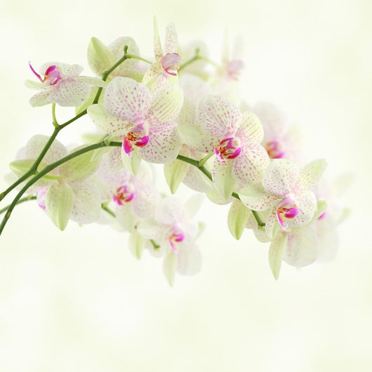 White Orchid on a Light Background Wall Mural