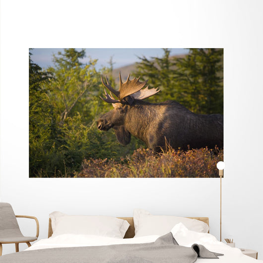 Bull Moose Standing In Afternoon Light Wall Mural