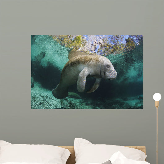 Endangered Florida Manatee At Three Sisters Spring Wall Mural