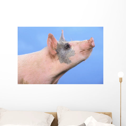 Pig with a blue background;British columbia canada Wall Mural