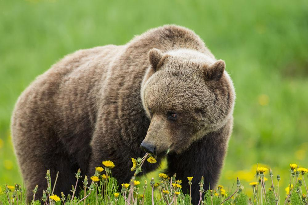 A Brown Bear Forages On Dandelions Wall Mural