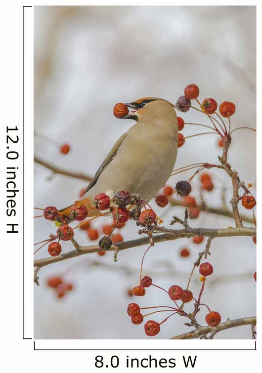 Close Up Of A Bohemian Waxwing With Mountain Ash Berry Wall Mural