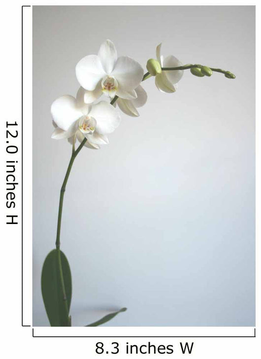 White Orchid Wall Mural