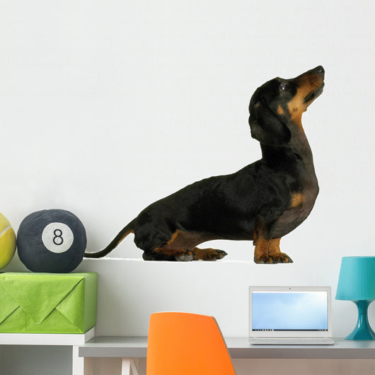 black dachshund sausage dog puppy on a white background Wall Decal