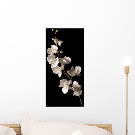 white orchid isolated over black background Wall Mural
