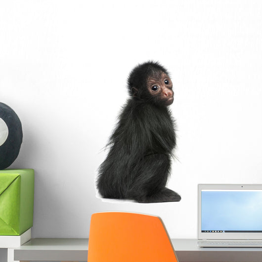 Red-faced Spider Monkey, Ateles paniscus, 3 months old Wall Decal