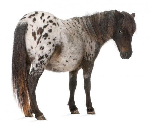 Appaloosa Miniature Horse Wall Decal