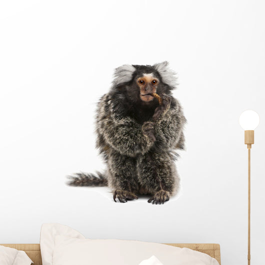 Marmoset Callithrix Jacchus Eating Worm Wall Decal