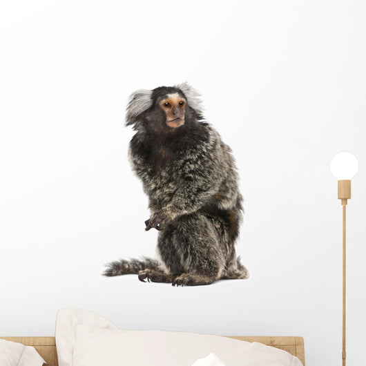 Common Marmoset, Callithrix jacchus, 2 years old, sitting Wall Decal