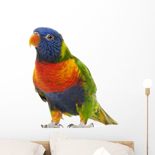 Rainbow Lorikeet Trichoglossus Haematodus 3 Years Old Wall Decal