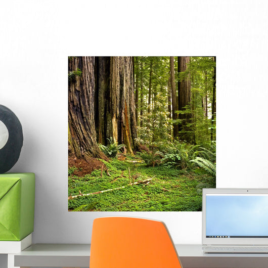 Redwood forest Wall Mural