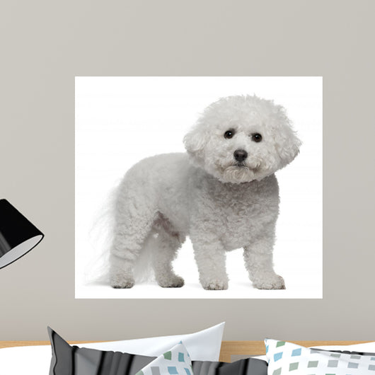 Bichon Frise, 5 years old, standing Wall Decal