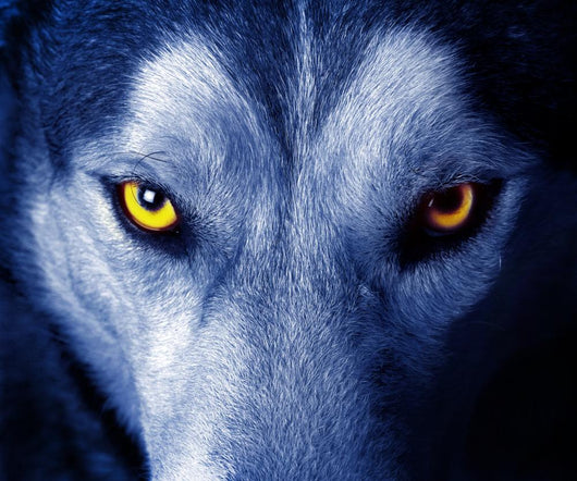 Beautiful Eyes of a Wild Wolf Wall Mural