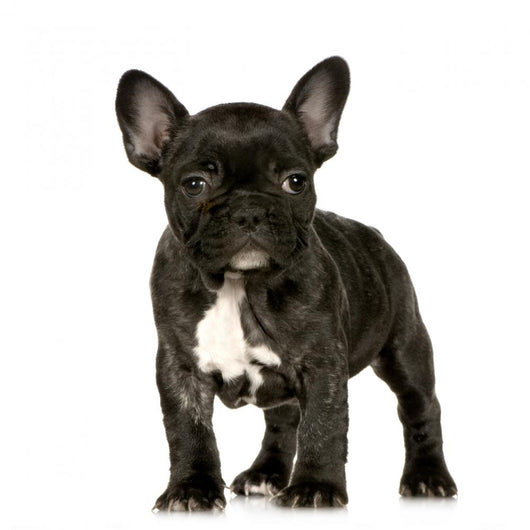 French Bulldog Puppy Wall Decal