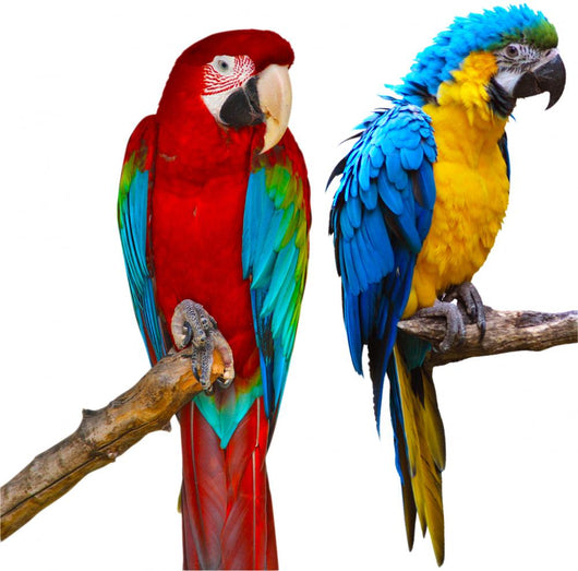 Ara Parrots Wall Decal