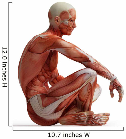 Anatomy Muscles Wall Decal