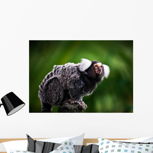 White tufted ear Marmoset Wall Mural