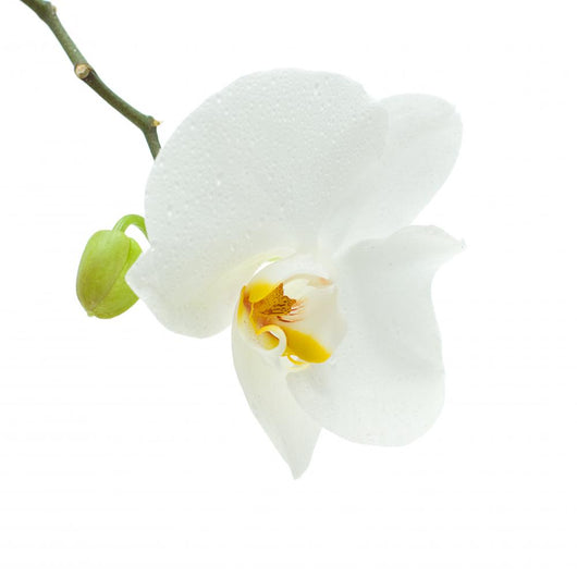 White Orchid Flower Wall Decal