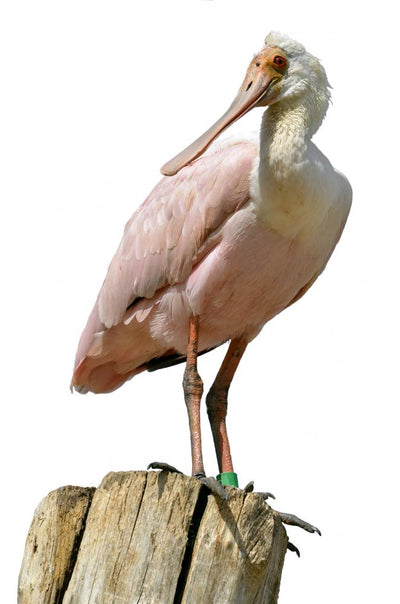 Roseate Spoonbill Wood Post Wall Decal