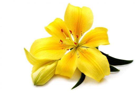 Yellow lily Wall Decal