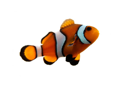 Tropical Clownfish Wall Decal