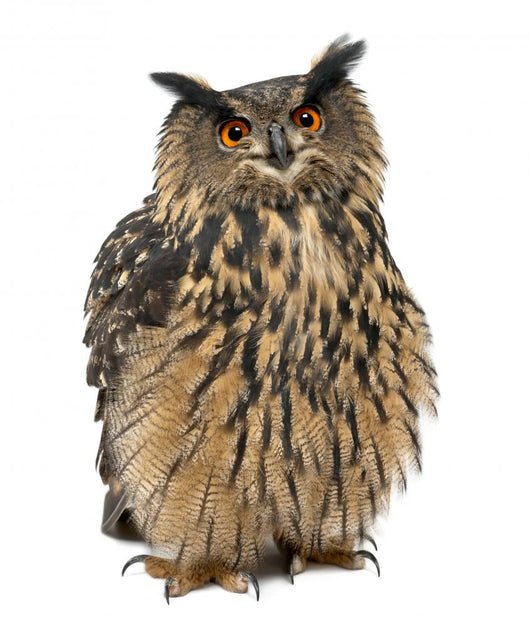 Eurasian Eagle-Owl, Bubo bubo, 15 years old Wall Decal