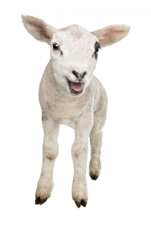Lamb Wall Decal