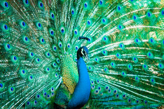 Portrait Peacock with Feathers