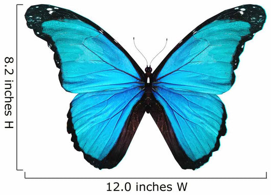 Morpho turquoise butterfly , isolated on white Wall Decal