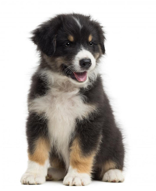 Australian Shepherd Puppy 8 Wall Decal