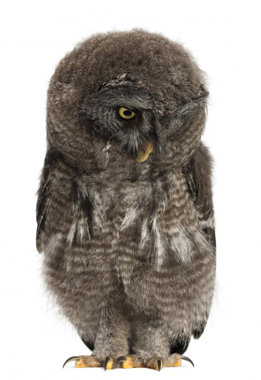 Great Grey Owl or Wall Decal