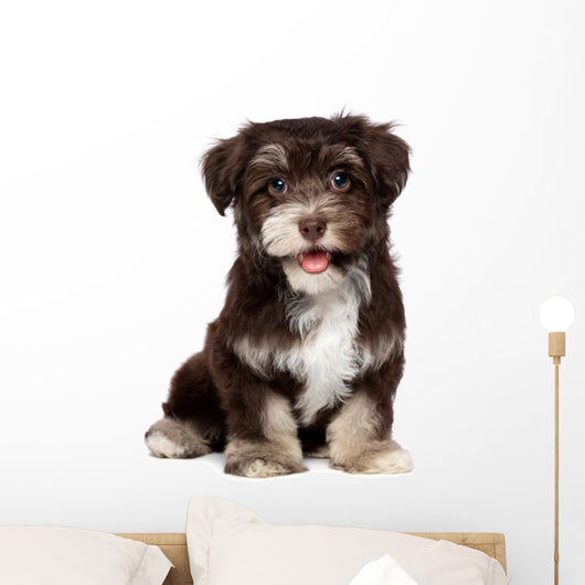 A beautiful smiling chocholate havanese puppy dog Wall Mural