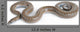 Rosy Boa on White Background Wall Decal