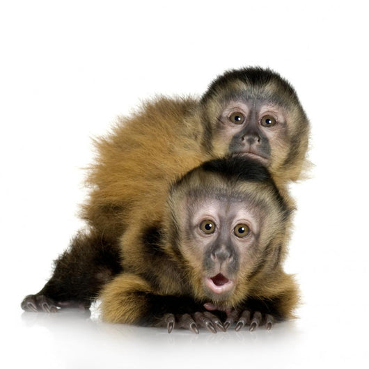 Two Baby Monkeys Wall Decal