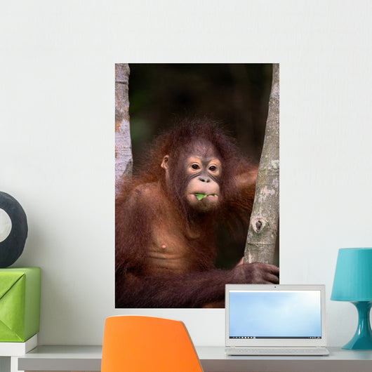 Orangutan Eating Leaf Wall Mural