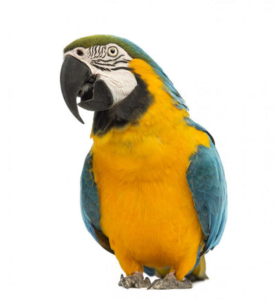 Blue-and-yellow and Green-winged Macaws Wall Decal
