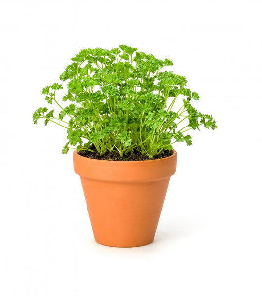 Parsley Clay Pot
