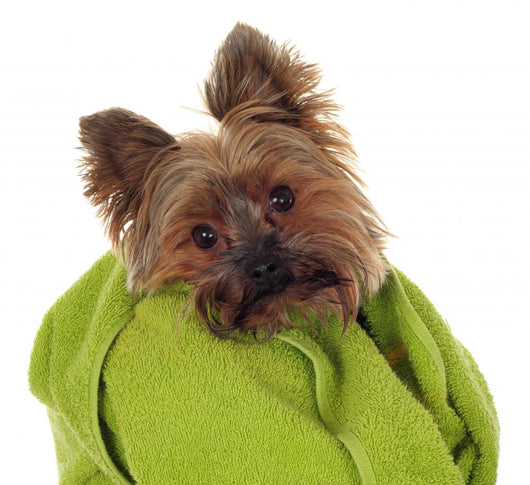 Yorkshire Terrier with Green